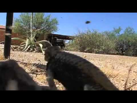 Wild Desert Spiny Lizard 'Cruz' Hunting Digger Bees