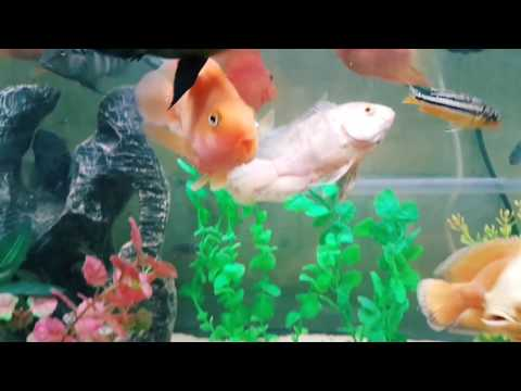 My Aquarium - Oscar, Neon Acara, Butterkoferi, Convicted Cichlid, Jewel & Cichlids