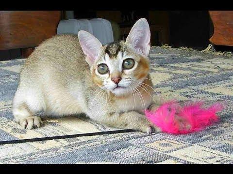 Animal Planet  :  Cats 101 ~ Burmilla