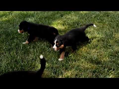 Marlin Chupp's Bernese Mountain Dogs