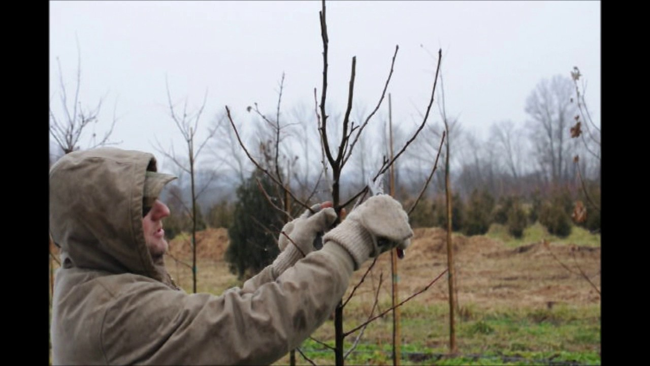 How to Prune Your Small Ornamental Pear Trees - YouTube