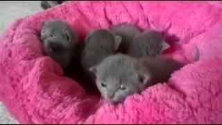 """Русские голубые котята питомника """"RAZDOLIE"""". Помет """"T"""". 3 недели."""