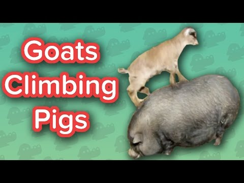 Goats Climbing Pigs & Ticklish Kittens!! // Funny Animal Compilation