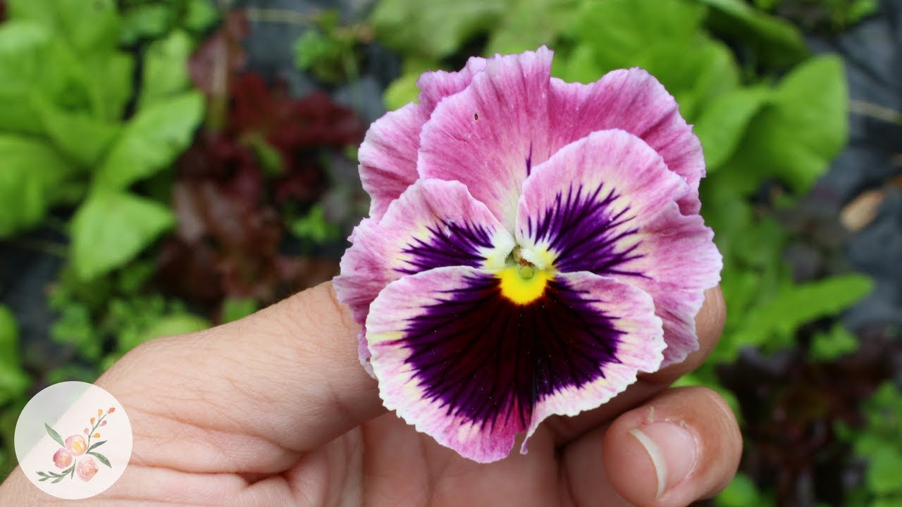 Pansies From Seed Spring Fall Growing Flowers From Seed Cut Flower