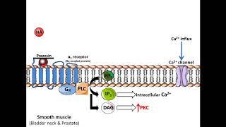 Prosztatarák gpc, A klorofillipto hatása a gpc porc prosztata gyulladására