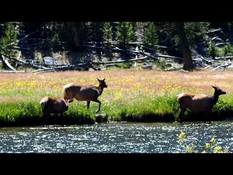 Elk at Yellowstone National Park-Madison Junction Aug 4, 2016