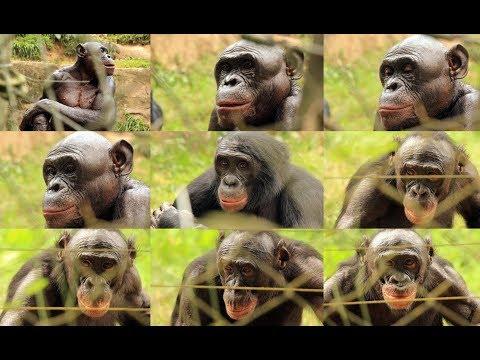 ΟΙ ΜΠΟΝΟΜΠΟ - BONOBO (ΚΟΝΓΚΌ - LOLA YA BONOBO - CONGO)