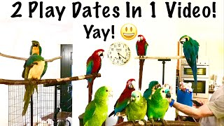 Two Parrot Play Dates & Free Flight Days    Mikey The Macaw