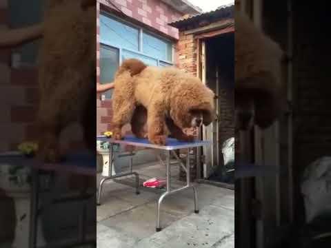 Eight Months Tibetan Mastiff $4.5k Whatsapp +1 (727)-500-7139