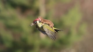 ЛАСКА ЛЕТИТ ВЕРХОМ НА ДЯТЛЕ #Woodpecker and #Weasel