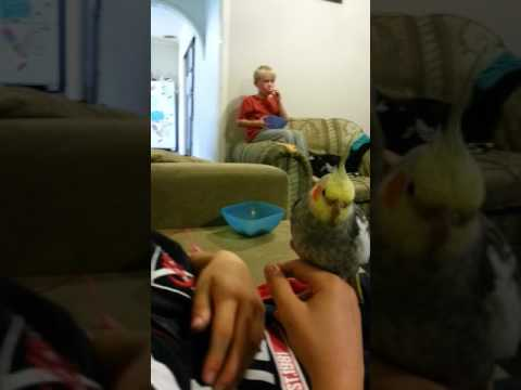 The cutest cockatiel sneezes you will ever see