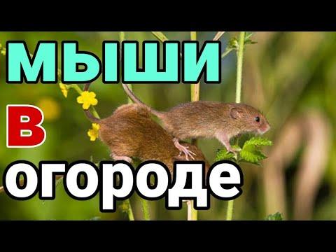 КАК Я ИЗБАВЛЯЮСЬ ОТ МЫШЕЙ. Как вывести мышей в огороде с участка.