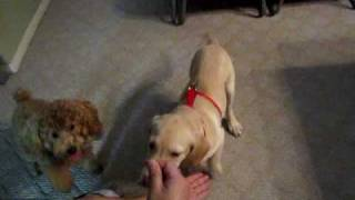 Basic Tricks With Lab Puppy Benjy And Brown Poodle Bb