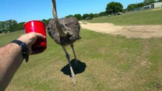 When Ostriches Attack!  Feeding the Ostrich!