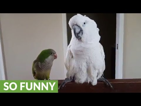 """Parrot repeatedly tells cockatoo """"I love you"""""""