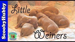 Little Weiners -- Dog Days #17