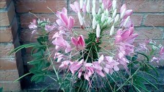 Цветок !? Кто знает его название?! Красивый цветок для цветника!