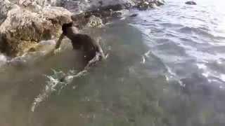 Belgian Malinois-swimming With Wood