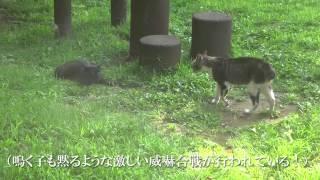 その血の気の多さでキジトラ公園を荒らしまわる若白サバ。彼と黒猫の異...