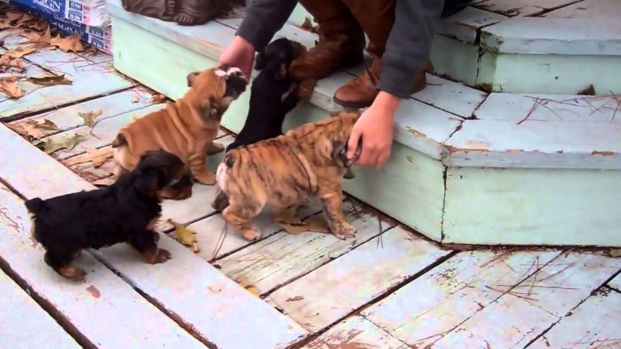 English Bulldog and Teacup Yorkie puppies for sale TEXAS area!!