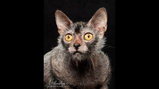 Как выглядят породы кошек(ЛИКОЙ - КОТ ОБОРОТЕНЬ)