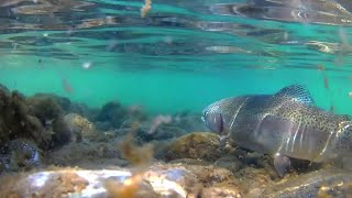Fly fishing for big rainbow trout Fly fishing Croatia