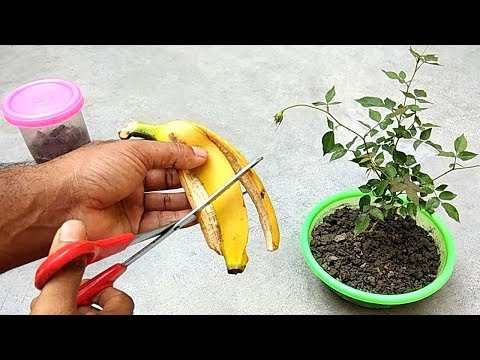 Easy and free fertilizer for any plants | Banana peel fertil