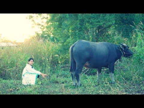 เลี้ยงควายหลังเกี่ยวข้าว Buffalo in a field in the early evening