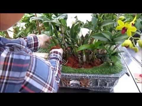 Hướng dẫn trồng hoa lan màu/ lan hồ điệp vào chậu cây may mắn tiểu cảnh