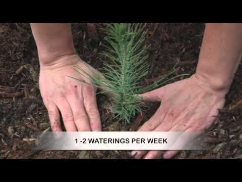 How to Grow Pine Trees from Seed