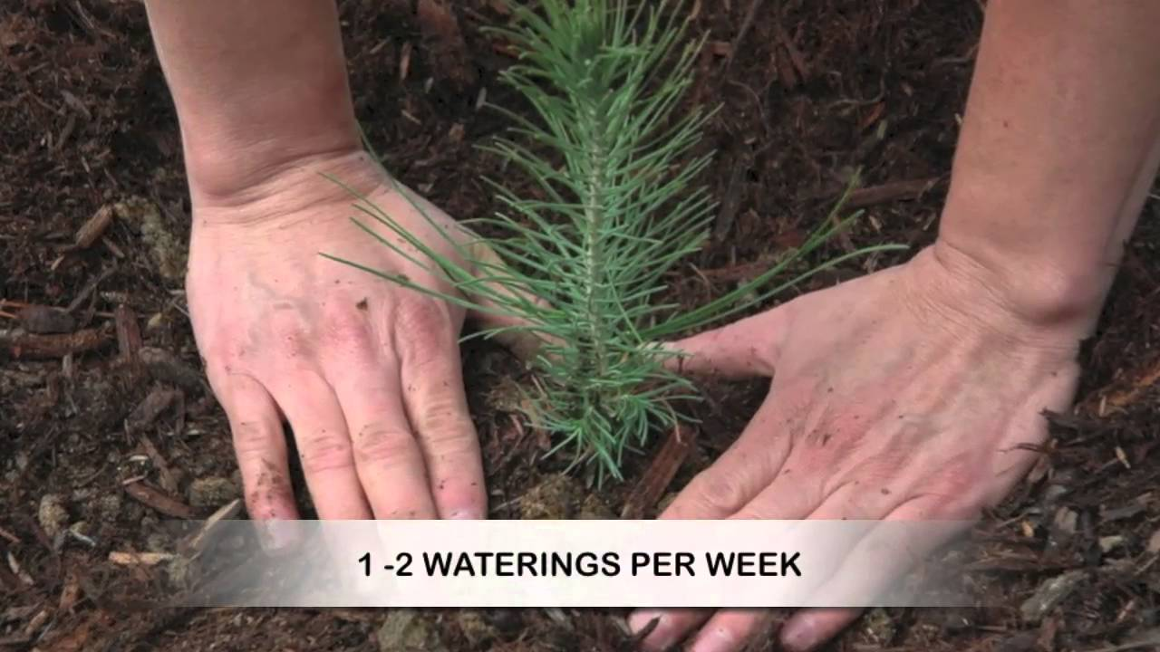 How to Grow Pine Trees from Seed - YouTube