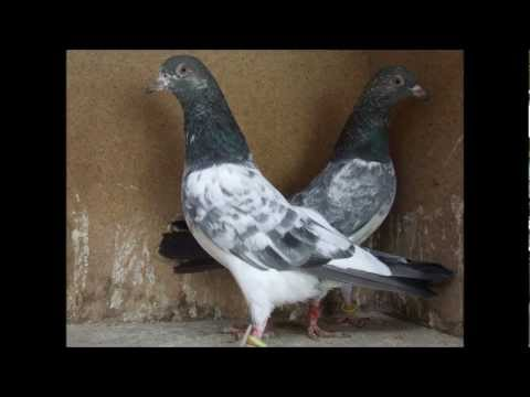 pakistani best pigeon washi dab walaa taddy kalay mouh walaa golden karnal maher tippler dk Travel Video