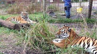 Zeus And Keisha Tigers Share A Home
