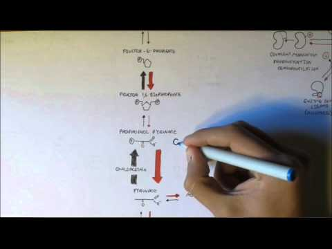 Regulation of Glycolysis and Gluconeogenesis