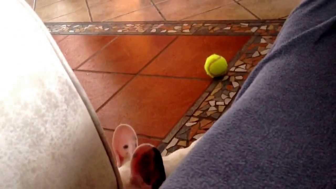 French bulldog / buldog francuski (Stanisław) - crying dog funny