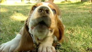 Homer, The Basset Hound Puppy Is Way Too Cute!