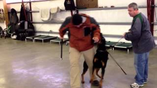 "Rottweiler Male Personal Protection Obedience Trained ""Doc"" For Sale"