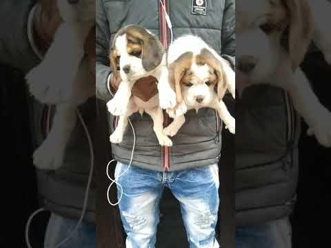 Beagle Puppies for sale in Haridwar , Dehradun Jharkhand at 8650006680 Rohit Dog kennel