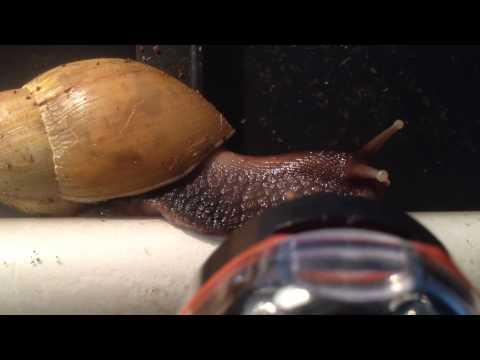 Achatina fulica rodatzi