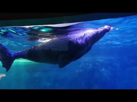 Swiming walruses