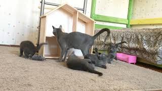 Russian Blue kittens from Russian Breeders