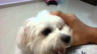 Maltese Puppy Bobo