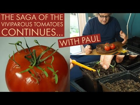 Potting up Viviparous tomatoes with Paul - March 2019