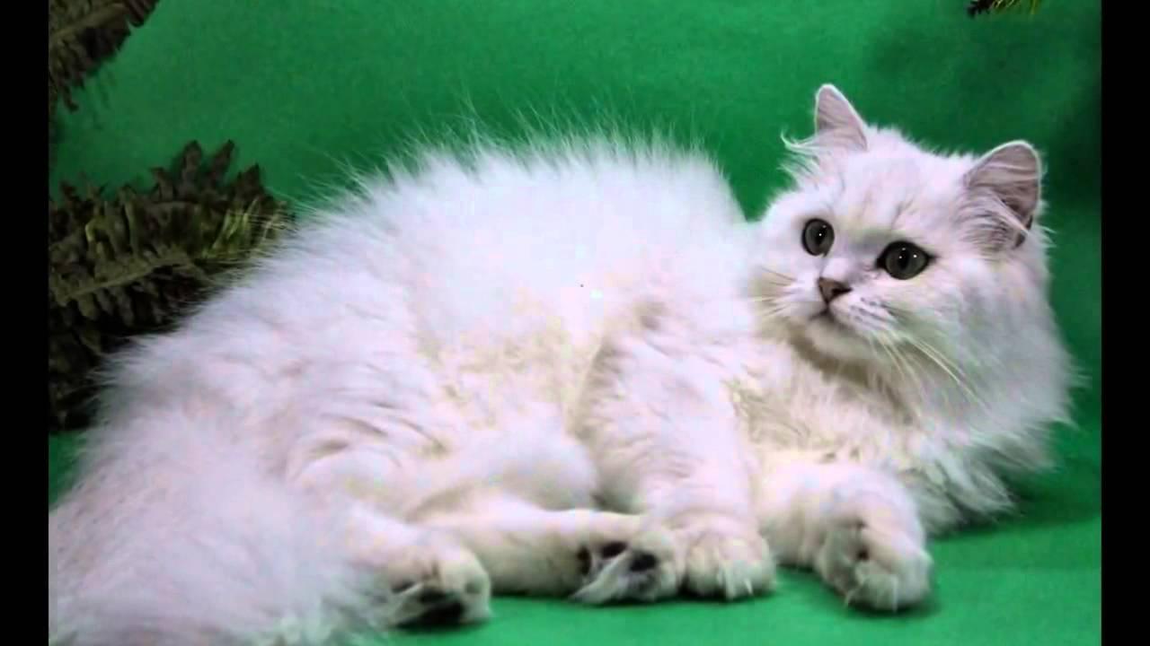 фото кот шиншилла