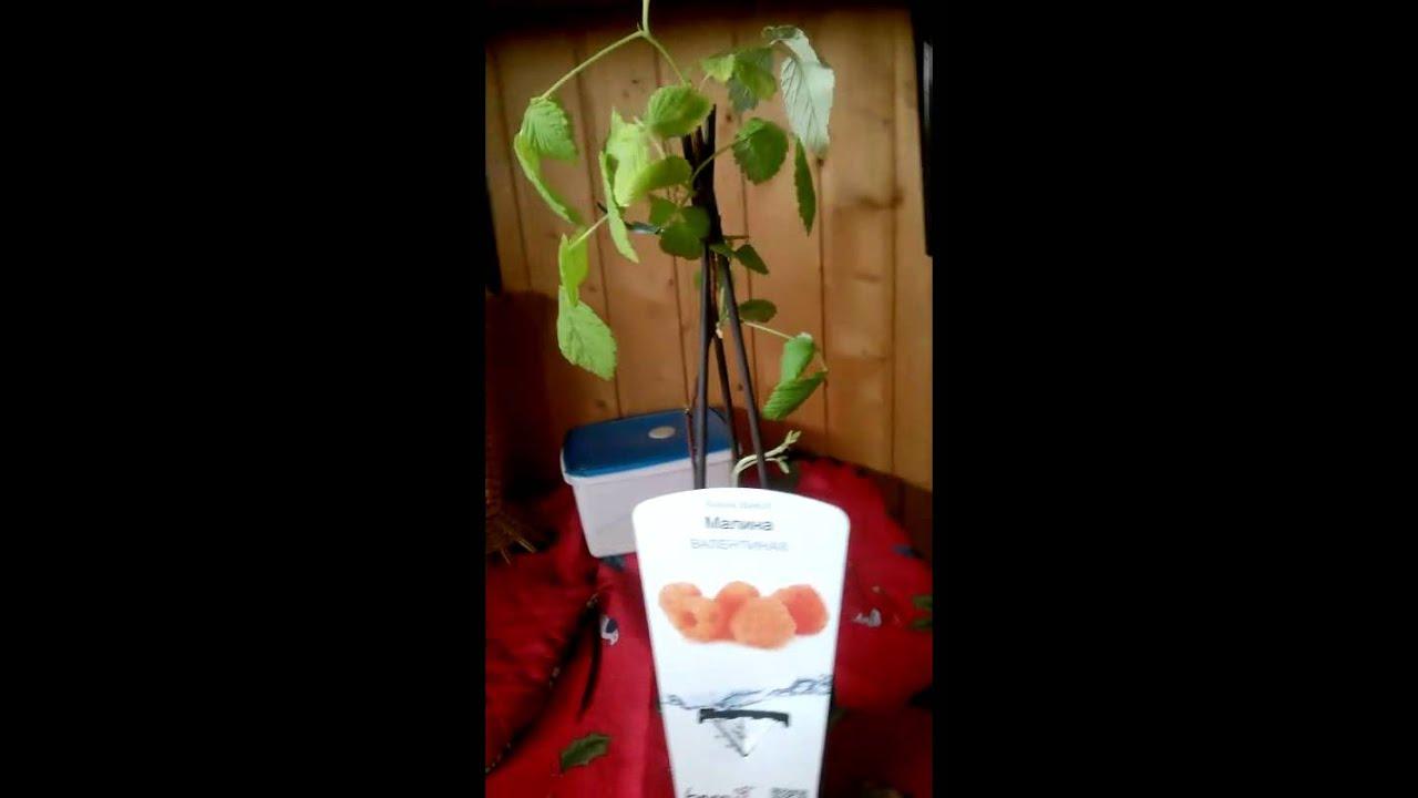 Каталог саженцев и крупномеров малина ремонтантная | питомникрус москва. Продажа малина ремонтантная по низким ценам и доставка по москве.