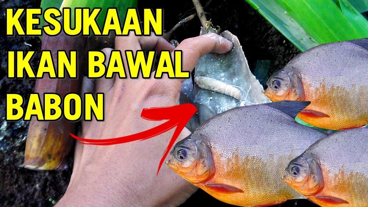 Umpan Jitu Mancing Ikan Bawal Belajar Mancing 16 Youtube