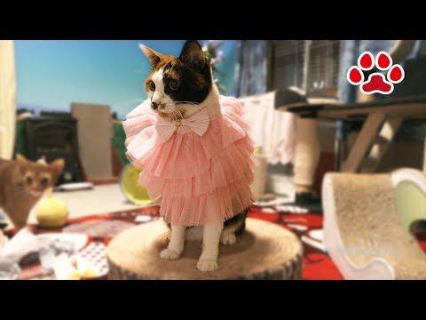 猫部屋、クリスマスの準備とコスプレ Cats Room, Christmas Preparation and Cosplay