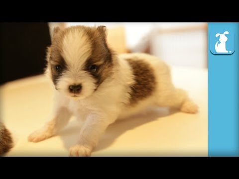 2 Week Old Pomeranian Puppies Can't Walk On Counter Top  Puppy Love