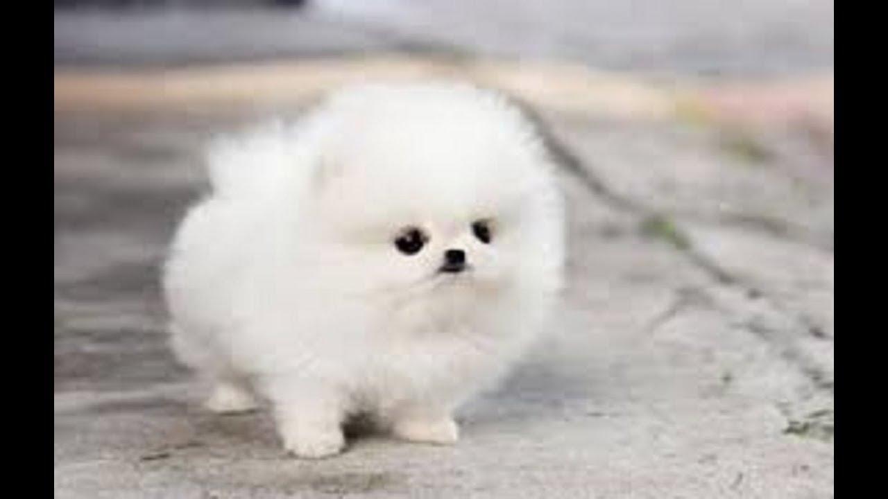 【ポメラニアン】もふもふポメラニアンのもふもふおしりがかわいすぎる!【かわいい】~Cute Pomeranian~