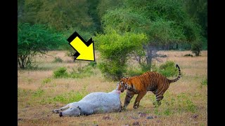 Powerful King Tiger Hunting Cow